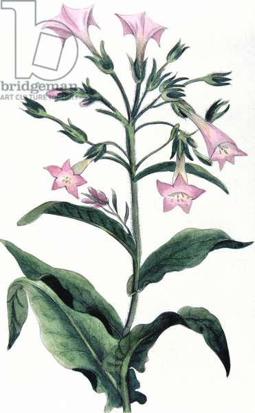 Tobacco: Nicotiana tabacum. Hand-coloured engraving 1823