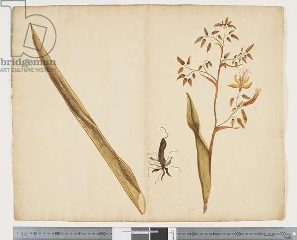 F.20 Phormium tanax, c.1790-95 (ink & w/c)