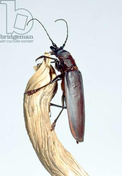 Titanus giganteus L., titan beetle