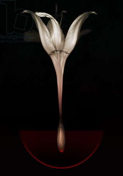 Bleeding lily, 2013 (photography)