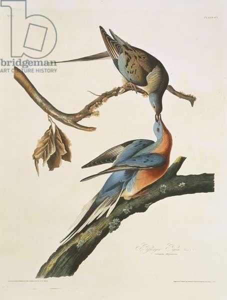 Ectopistes migratorius, passenger pigeon, Plate 62 from John James Audubon's Birds of America, original double elephant folio, 1827-30 (hand-coloured aquatint)