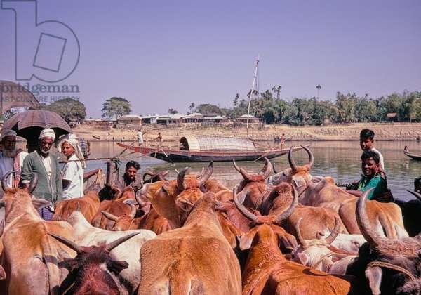 Ferry crossing, herd of cattle, rural river scene, Bangladesh, 1969 (photo)