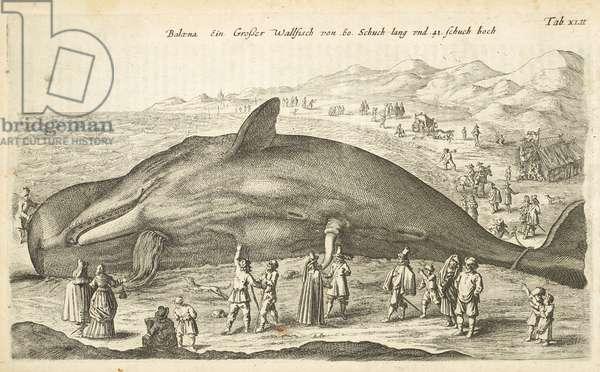 Tab XLII, Whale, Illustration from from 'Historiæ naturalis de quadrupetibus', 1657 (engraving)