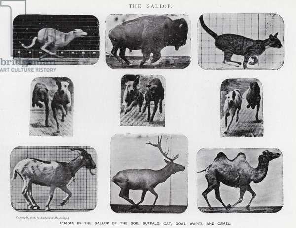 Eadweard Muybridge: The Gallop (b/w photo)