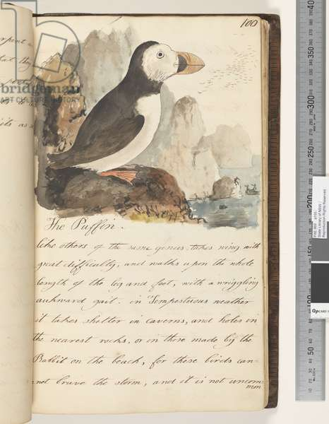 Page 100. The Puffin, 1810-17 (w/c & manuscript text)