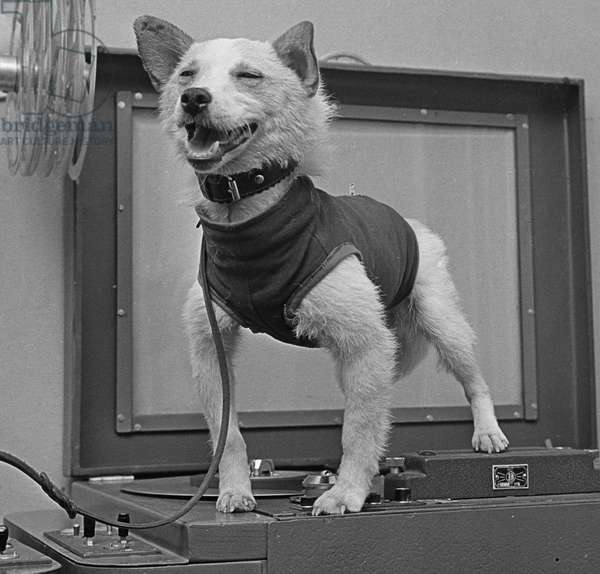 Space dog Belka after returning to Earth on board a prototype of the spaceship Korabl-Sputnik 2 (Sputnik 5) on August 19, 1960 (b/w photo)