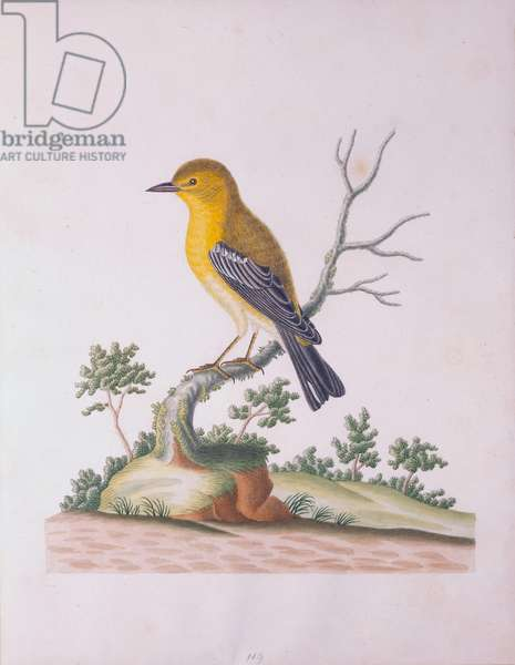 Yellow Breasted Finch, 1790 (w/c on paper)