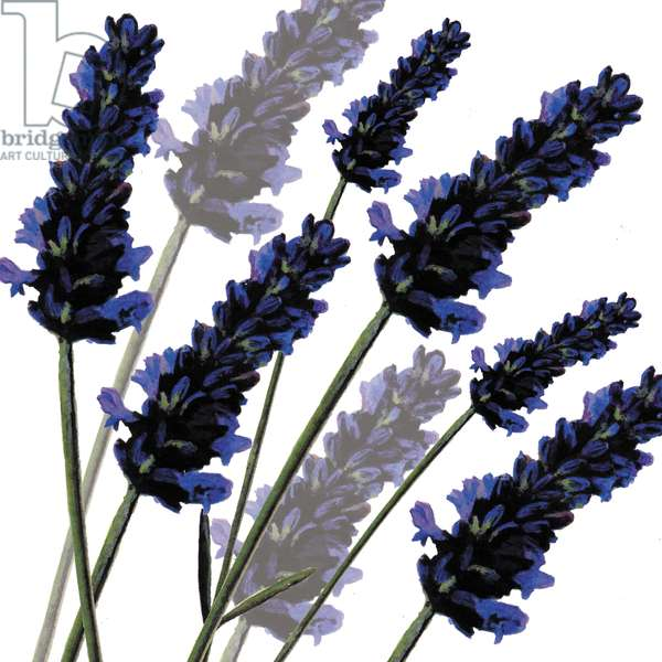 Sweet Lavender, 2004 (digital)