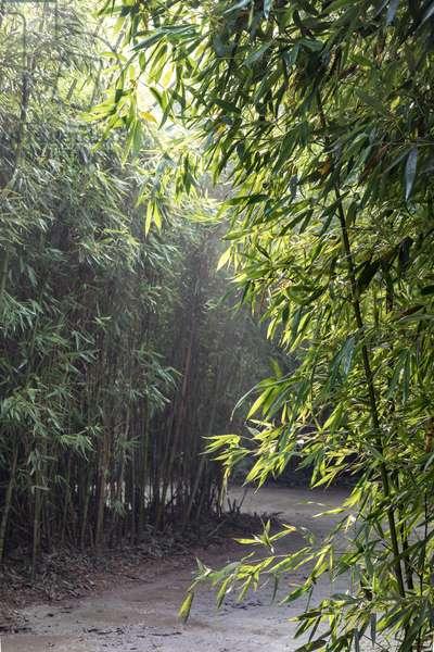 Fontanellato, Labirinto della Masone, by Franco Maria Ricci: one of the walkways with bamboo plants,  (photo)