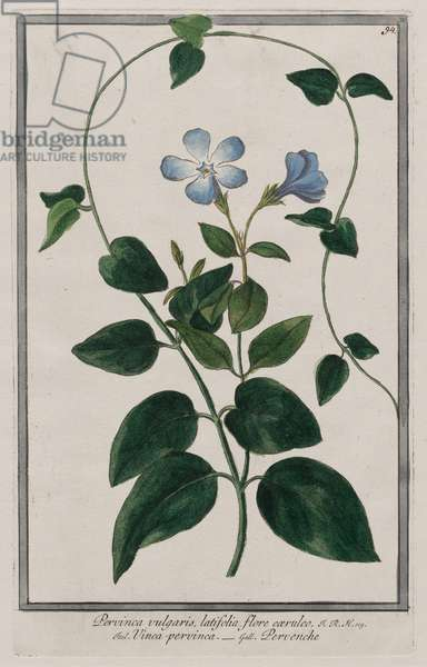 Common Periwinkle (Pervinca vulgaris), published 1772-93 (hand-coloured engraving)