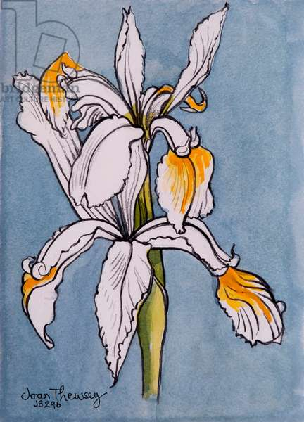 Two Irises,2001,pencil with water colour washes
