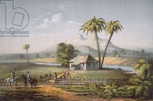Vista de una Vega de Tabaco, or a Tobacco Farm, Cuba (colour litho)