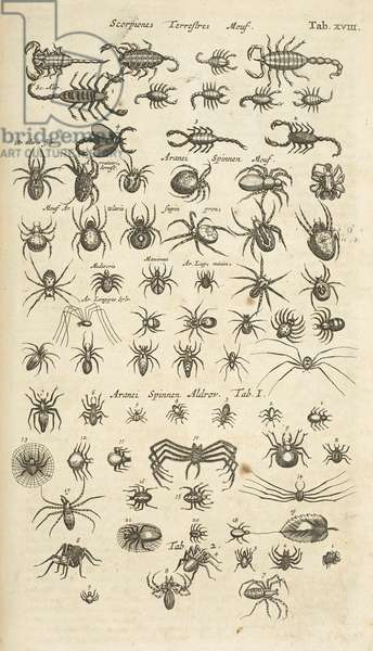 Tab XVIII, Scorpiones terrestres, and Arachnids, Illustration from from 'Historiæ naturalis de quadrupetibus', 1657 (engraving)