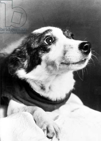 Strelka (In Pic), Was One the Two Russian Dogs that Went Into Orbit Aboard Sputnik Spaceship and Returned Safe and Sound from a Space Flight, 1960.
