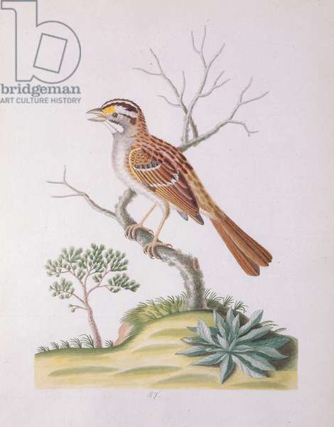 Yellow Spotted Headed Sparrow, 1790 (w/c on paper)