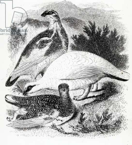 The Ptarmigan, illustration from 'A History of British Birds' by William Yarrell, first published 1843 (woodcut)