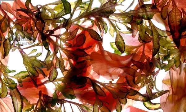 Hibiscus Coleus Array, 2009, (digital photogram, digital original print)