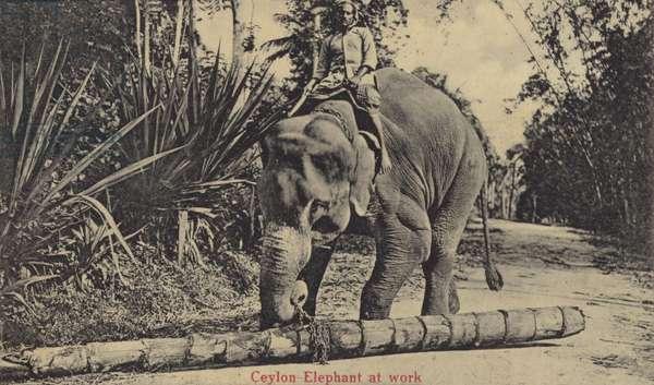 Ceylon Elephant at work (b/w photo)