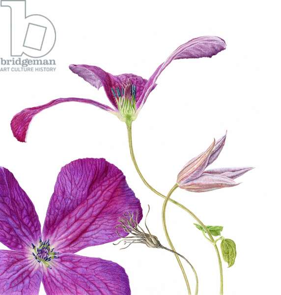 Clematis 'Royal Velours' 2012
