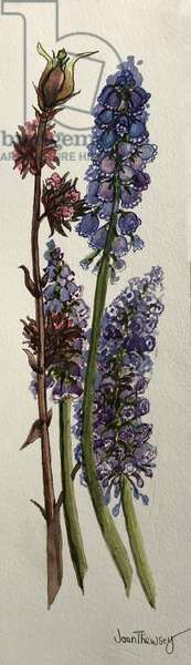 Muscari and Viburnum bodnantense (watercolour)