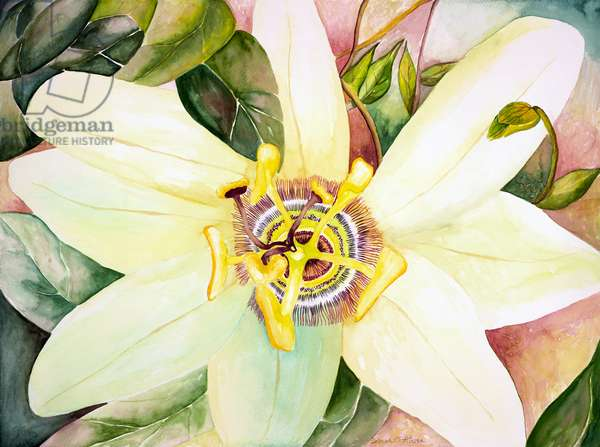 Passionflower, 2007 (watercolor)