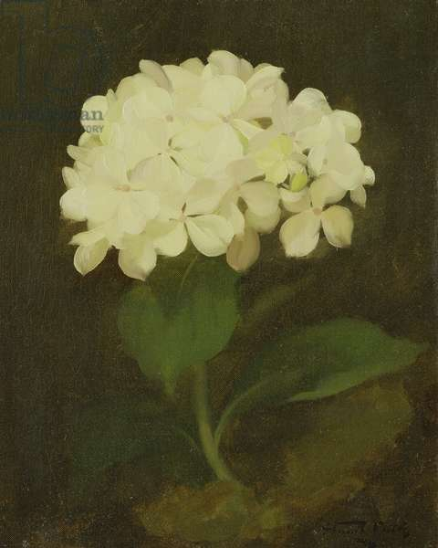 White Hydrangea (oil on canvas)