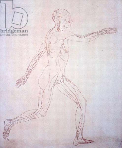Study of the Human Figure, Lateral View, from 'A Comparative Anatomical Exposition of the Structure of the Human Body with that of a Tiger and a Common Fowl', c.1795-1806 (ink on paper)