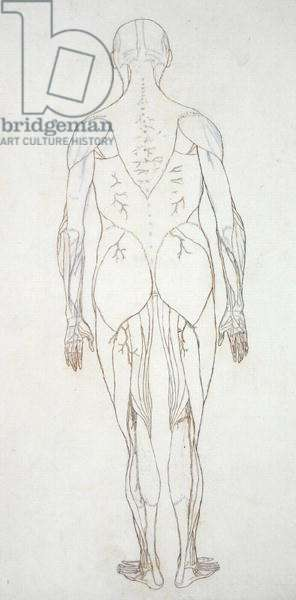 Study of the Human Figure, Posterior View, from 'A Comparative Anatomical Exposition of the Structure of the Human Body with that of a Tiger and a Common Fowl', c.1795-1806 (red chalk on cartridge paper)