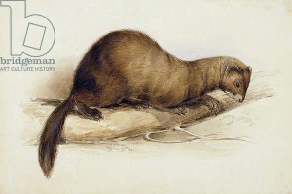 A Weasel, 1832 (w/c, pen, ink, gouache and gum over graphite on wove paper)