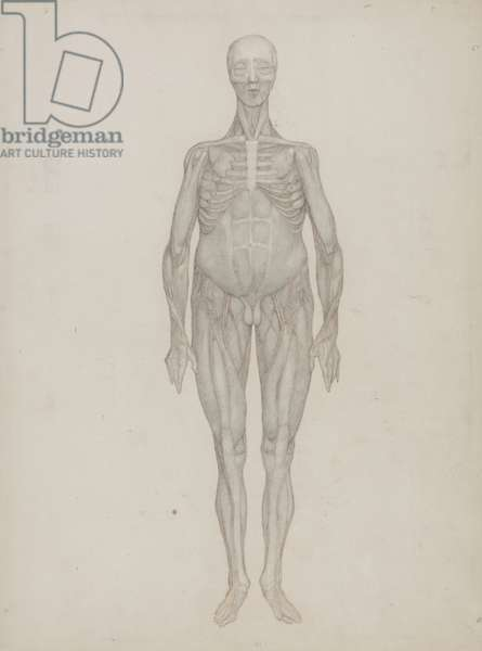 Study of the Human Figure, Anterior View, from 'A Comparative Anatomical Exposition of the Structure of the Human Body with that of a Tiger and a Common Fowl', c.1795-1806 (graphite on cartridge paper)