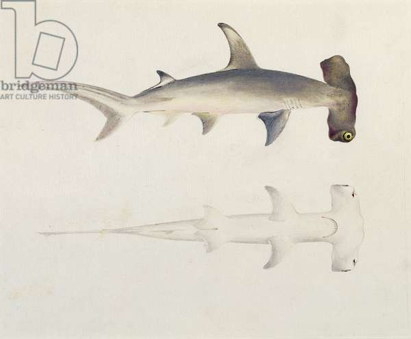 A Hammer-headed Shark, Loheia, formerly attributed to James Bruce (1730-94) (w/c and gouache over graphite on paper)