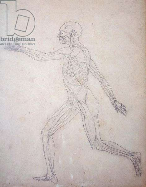 Study of the Human Figure, Lateral View, from 'A Comparative Anatomical Exposition of the Structure of the Human Body with that of a Tiger and a Common Fowl', c.1795-1806 (graphite on cartridge paper)