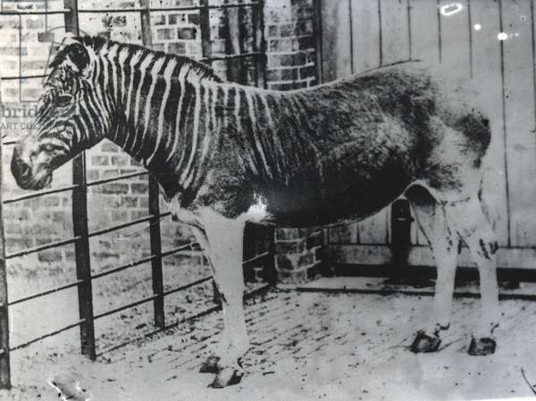 Quagga at ZSL London Zoo, probably summer 1870 (b/w photo)