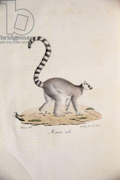 Ring-tailed Lemur, from Histoire Naturelle des Mammifères, avec des figures originales, by Étienne Geoffroy Saint-Hilaire & Frédéric Cuvier, 1824-42 (colour litho)